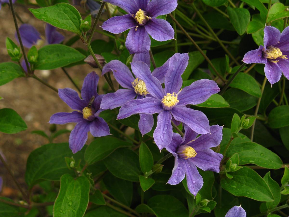 Clematis integrifolia Arabella