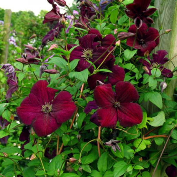 Clematis viticella Royal Velours